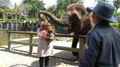Gajah Animal Feeding dan Atraksi Bali Zoo